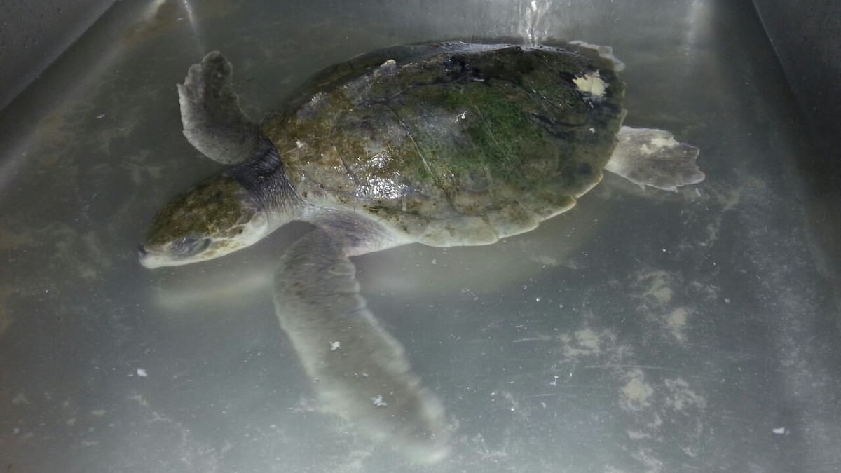 Nh levende zeeschildpad aangespoeld bij den helder - Fotos van levende ...