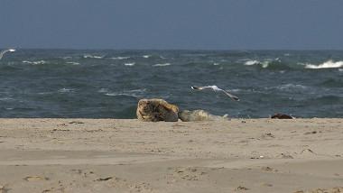 Grijze zeehond Razende Bol Texel
